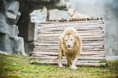 Vita lejon i fångenskap arkivfoto
