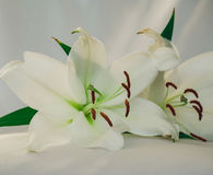 Vita Liliies Royaltyfri Fotografi