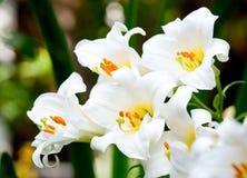 vita liljar