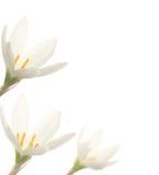 vita liljar Arkivbilder