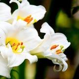 vita liljar Fotografering för Bildbyråer
