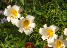vita liljar en heraldisk fransk lilja Blommor i blomsterrabatten Royaltyfri Fotografi