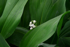 Vita liljekonvaljer Blommor closeup Royaltyfria Bilder