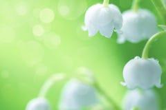 Vita liljekonvaljer i dagget Royaltyfri Bild