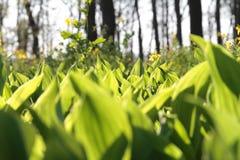 Vita liljekonvaljer på en glänta i skogen, solig dag Arkivfoto
