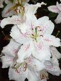Vita liljor Royaltyfri Foto