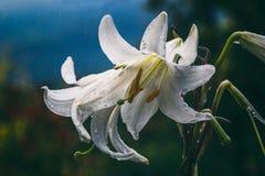 Vita liljor i regnet Arkivbild