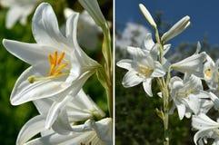 Vita liljor i trädgården arkivbild