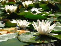 Vita liljor på dammet Royaltyfria Bilder