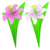 Vita liljor som är rosa och Royaltyfria Foton