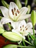 Vita Lillie blommor royaltyfri foto
