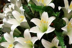 vita lillies Fotografering för Bildbyråer