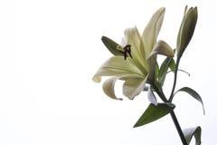 Vita Lily Flower Close Up Royaltyfri Foto