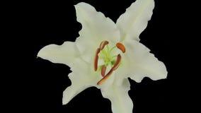 Vita Lily Flowering arkivfilmer