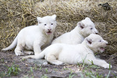 Vita Lion Cubs Royaltyfria Foton