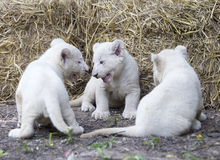 Vita Lion Cubs Arkivfoton