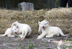 Vita Lion Cubs Royaltyfri Bild