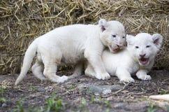 Vita Lion Cubs Fotografering för Bildbyråer