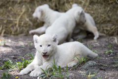 Vita Lion Cubs Royaltyfri Fotografi