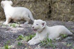 Vita Lion Cubs Royaltyfria Bilder