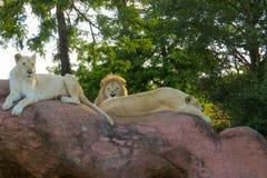vita lions Royaltyfri Foto