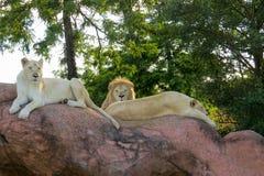 vita lions Arkivbilder