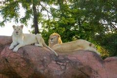 vita lions arkivbild