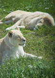 vita lions Royaltyfria Bilder