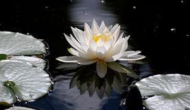 Vita lotos i vatten Arkivbilder
