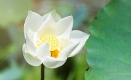 Vita Lotus är blommande Arkivbilder