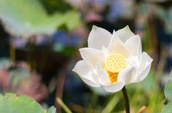 Vita Lotus är blommande i träsket Arkivbilder
