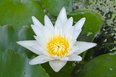 Vita Lotus Arkivbilder