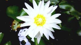 Vita Lotus av Thailand i badet Arkivbilder