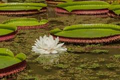 Vita Lotus Flower i ett damm Arkivfoton