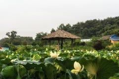 Vita Lotus Flower Pond Arkivfoton