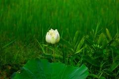 Vita Lotus i den fridsam morgonen som är uppfriskande och Royaltyfria Bilder