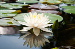 Vita Lotus i handfat Arkivfoto