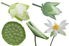 Vita Lotus uppsättning Royaltyfria Foton