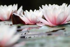 vita lotuses Royaltyfri Fotografi
