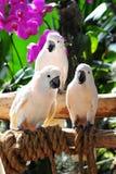 vita macaws Arkivbild