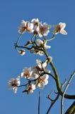 Vita magnoliacaerhaysplantor Arkivfoto