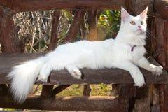 Vita Maine Coon Cat på bänken Arkivbild