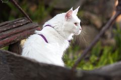 Vita Maine Coon Cat på bänken Arkivbilder