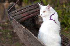 Vita Maine Coon Cat på bänken Fotografering för Bildbyråer