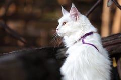 Vita Maine Coon Cat på bänken Royaltyfri Fotografi