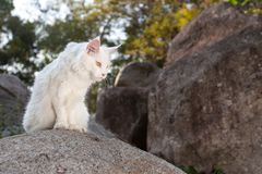 Vita Maine Coon Cat på vagga Arkivfoton