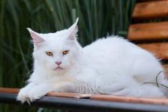 Vita Maine Coon Cat platser på bänken Royaltyfri Foto