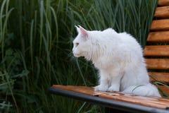 Vita Maine Coon Cat platser på bänken Fotografering för Bildbyråer