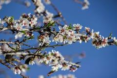 Vita mandelträd för blomning Arkivbilder