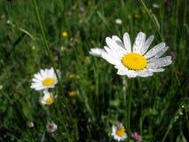 Vita margaritor efter regnet blommar på våren fotografering för bildbyråer